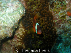 Clown Fish Haven by Theresa Hiers 